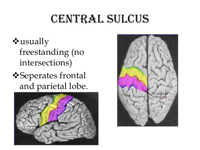 Central sulcus usually freestanding (no intersections ...
