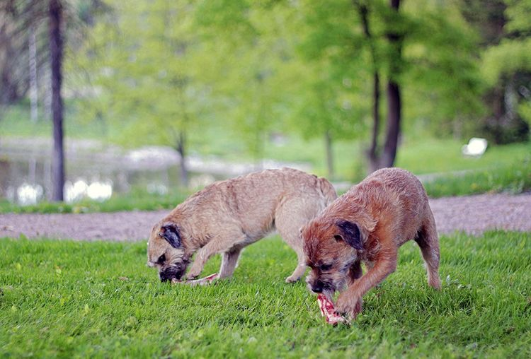 Barffaus on koiran luonnollista ruokintaa, jossa tärkeää perusravintoa ovat lihaisat raakaluut.