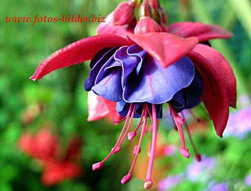 Fuschia Pictures Of Spring Flowers Flowers Fuchsia Flower