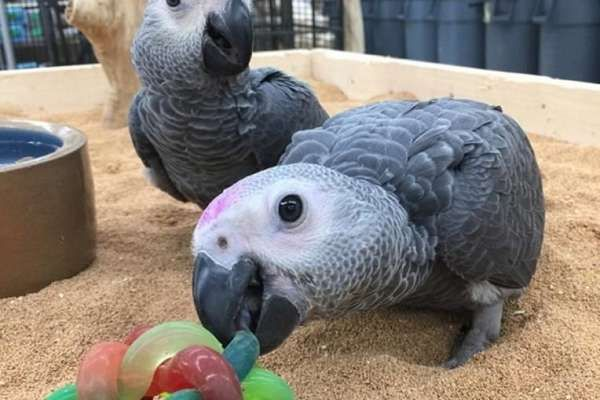 Babies and adults D N A African grey parrots available | Hand fed