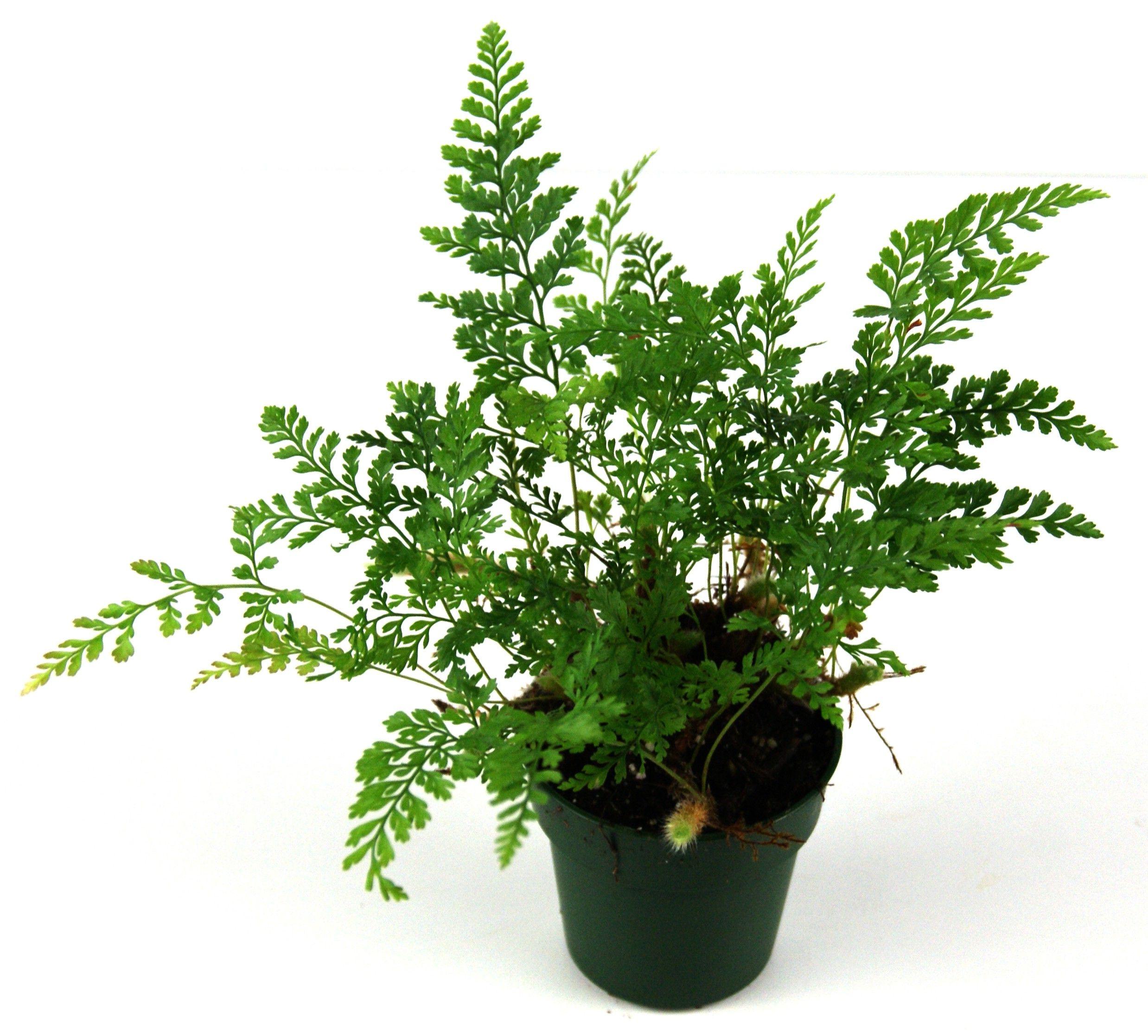 how to care for white paw fern humata tyermanii plants ferns plants garden. Black Bedroom Furniture Sets. Home Design Ideas