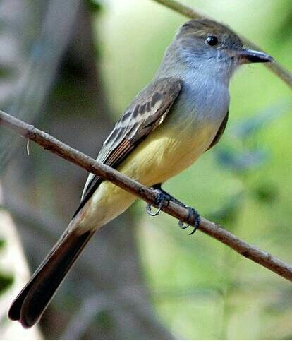Brown-crested Flycatcher (Myiarchus tyrannulus)