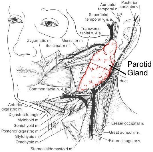 Glándula parótida y sus relaciones anatómicas | ECOGRAFÍA DE CUELLO ...