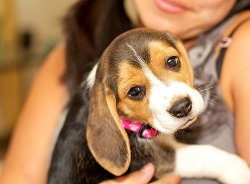 Shedding And Doggy Odor For Such A Shorthaired Dog Beagles Shed