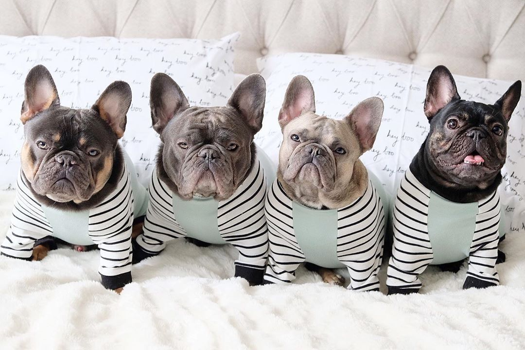 Pin by frenchiestore®️ on Frenchiestore Frenchie PJS