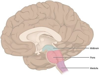 Brain Stem - 4 Main Parts of the Brain and Their Functions Explained…