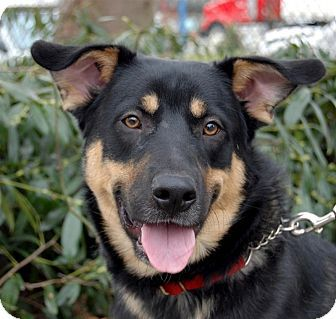 German Shepherd Dog Rottweiler Mix Dog For Adoption In Maple Ridge