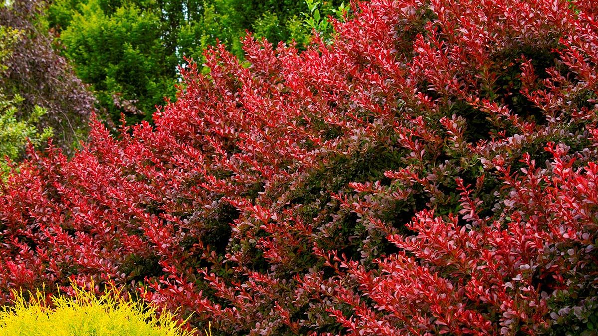 Get Some Ideas On Ways To Use Beautiful Barberry Shrubs To Brighten Up Your Landscape Their Pop Of Color Looks Great Japanese Barberry Colorful Shrubs Plants