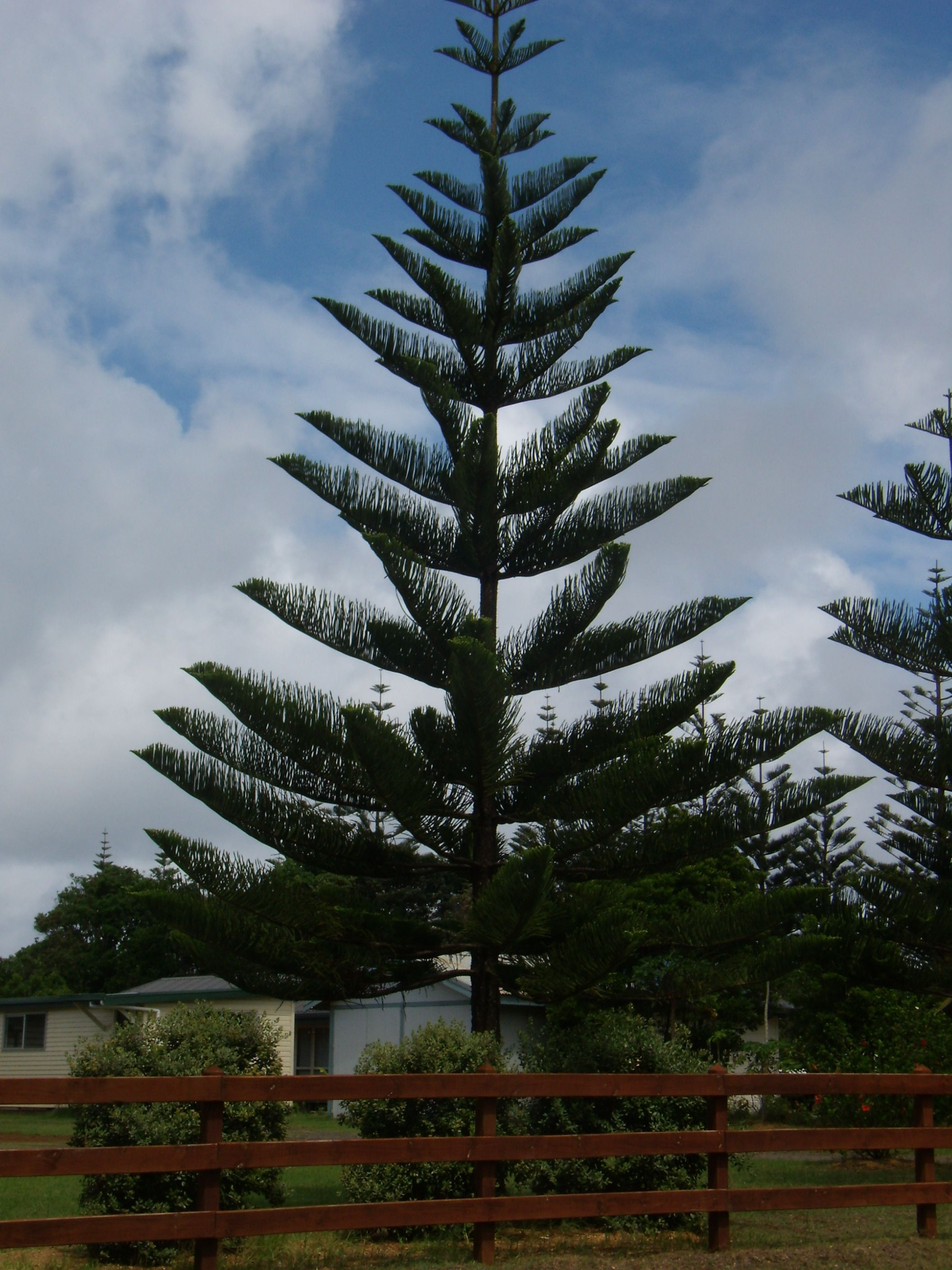 Norfolk Island Pine   One Of The Trees Very Likely To Fall During A Storm
