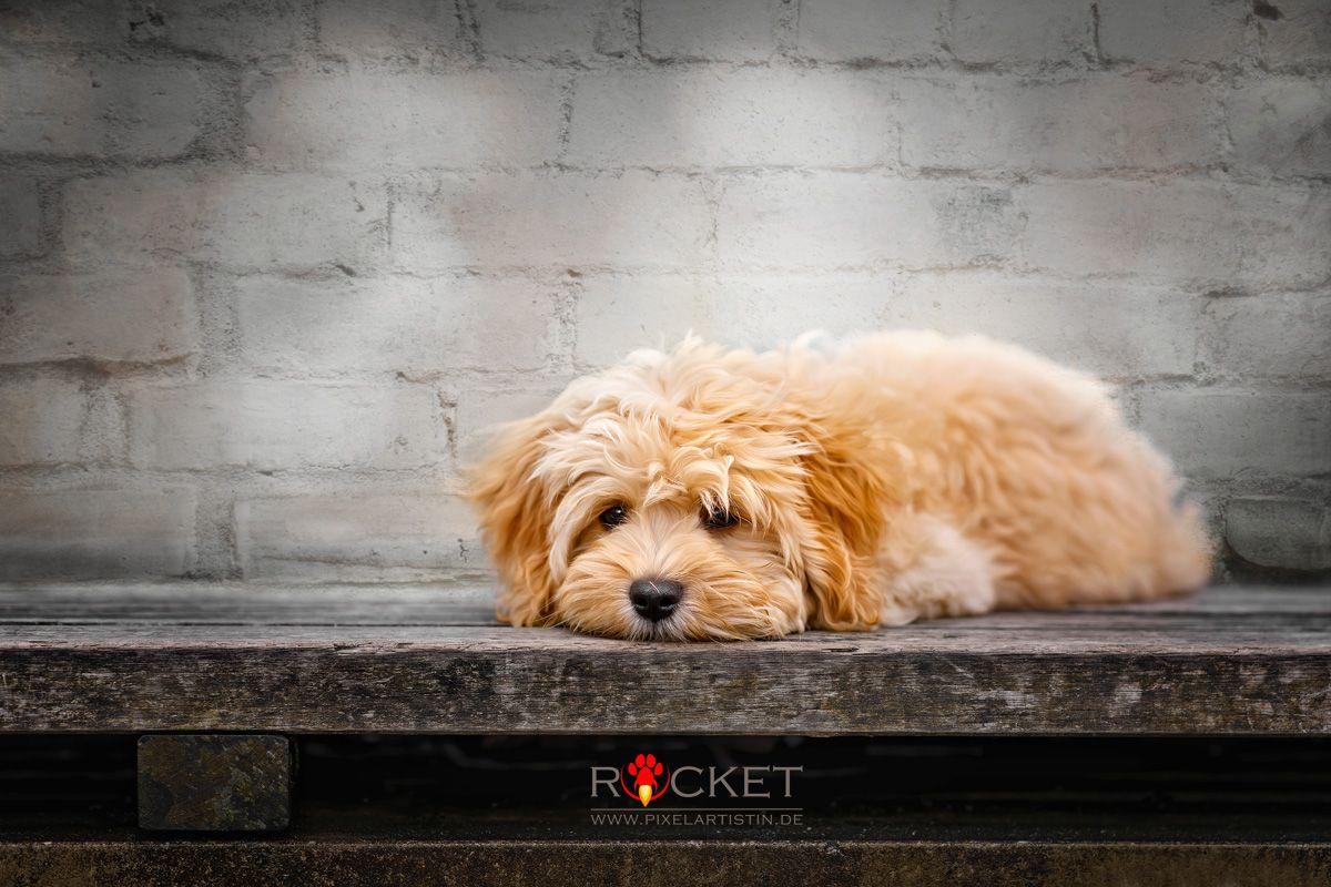 Rocket Der Havaneser Pixelartistin Rocket Havaneser Havanese Havanais Bichon Puppy Welpe Cream Creme In 2020 Havaneser Hundespielzeug Welpen