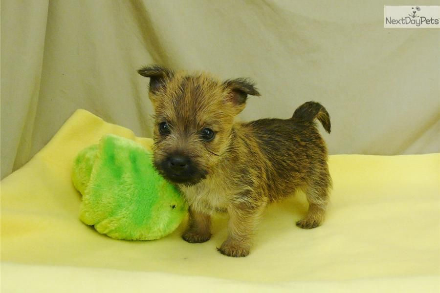 Meet Janelle A Cute Cairn Terrier Puppy For Sale For 600 Janelle