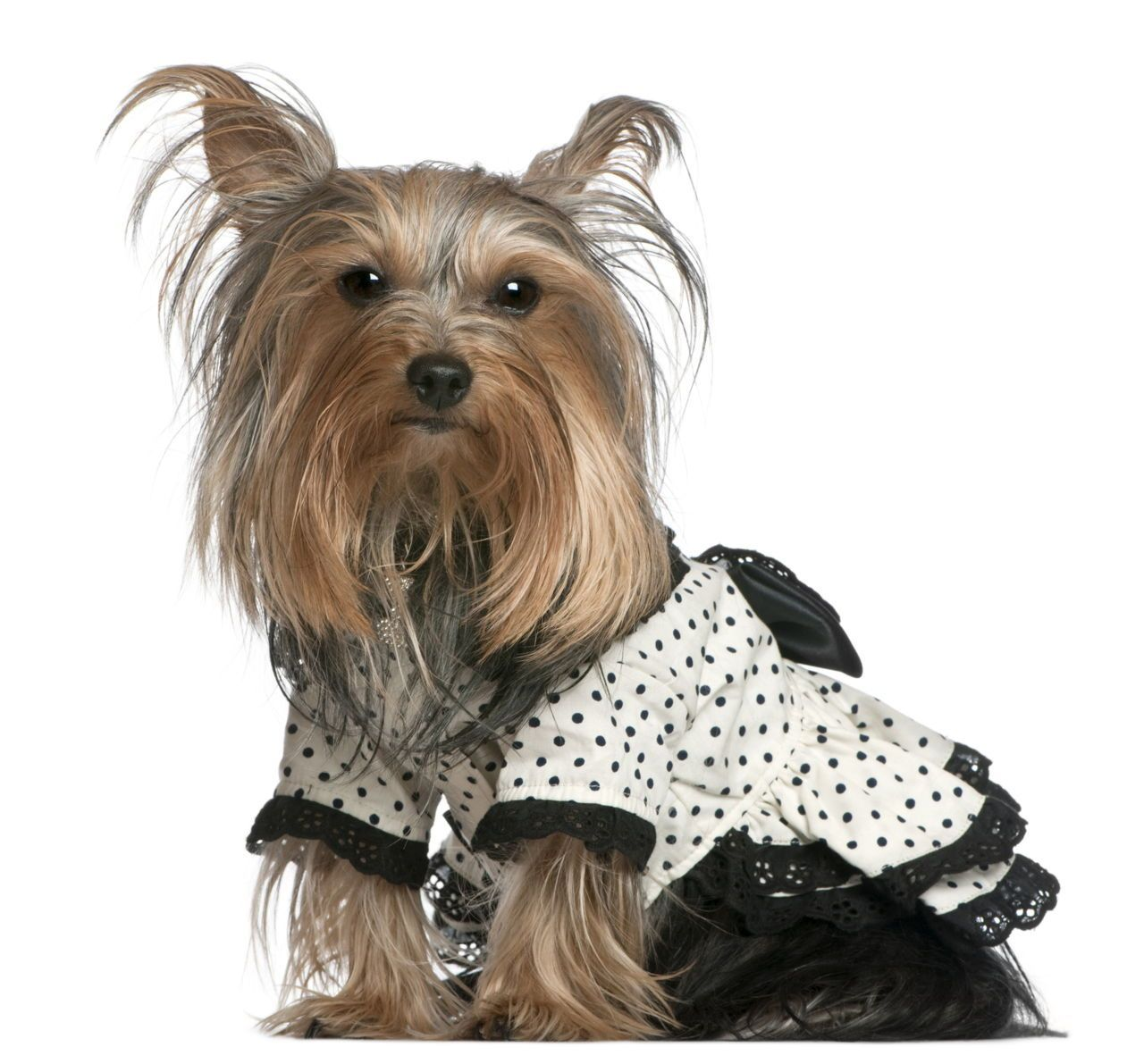 Yorkshire Terrier Wearing Black And White Yorkshireterrier Yorkshire Terrier Puppies Yorkshire Terrier Clothes Yorkshire Terrier
