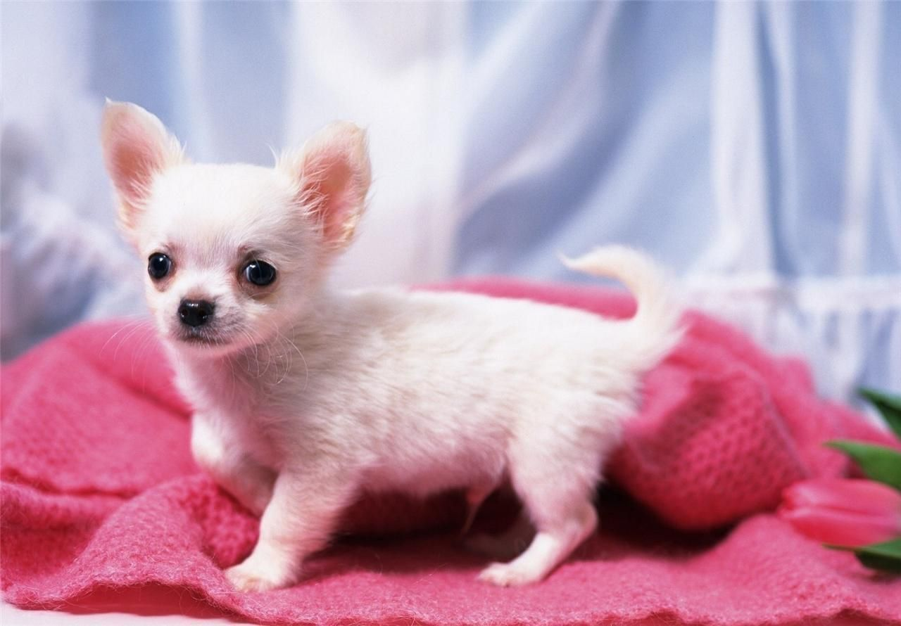 9 99 Chihuahua Puppy Glossy Poster Picture Photo Dog Baby