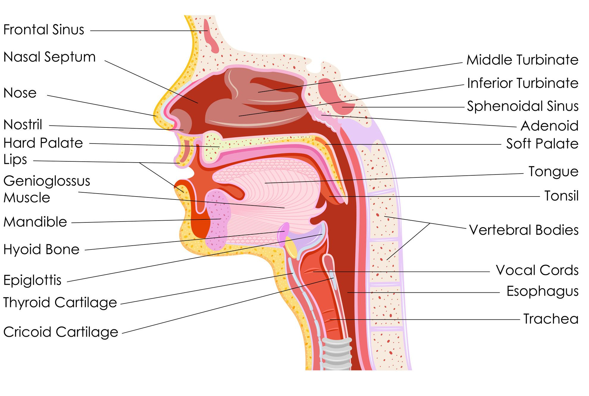 Human Throat Anatomy | Respiratory System | Pinterest | Respiratory ...