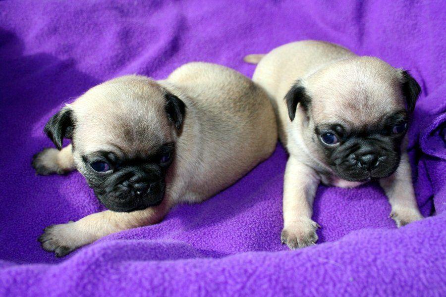 Pug Babies Too Cute Baby Pugs Pug Puppies Pug Puppies For Sale