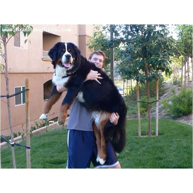 I Just Really Want A Bernese Mountain Dog.