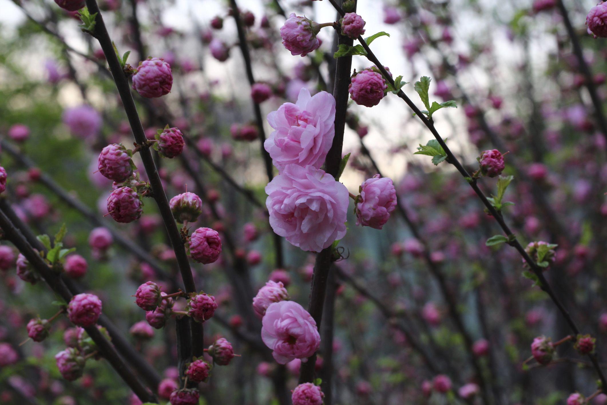 Tree With Blooms That Look Like Carnations Hunker Pink Trees Bloom Peonies