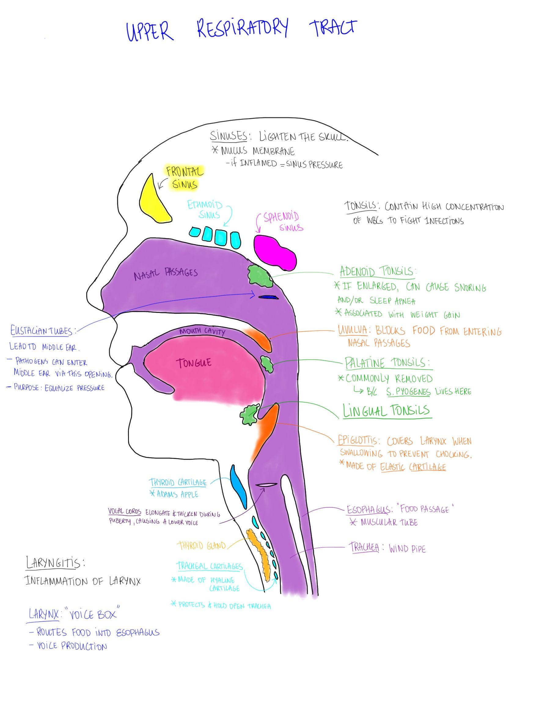 Upper Respiratory system. Content credit: Suzanna Heinze ...