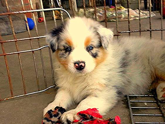 Australian Shepherd Puppies for sale in Texas. Check out