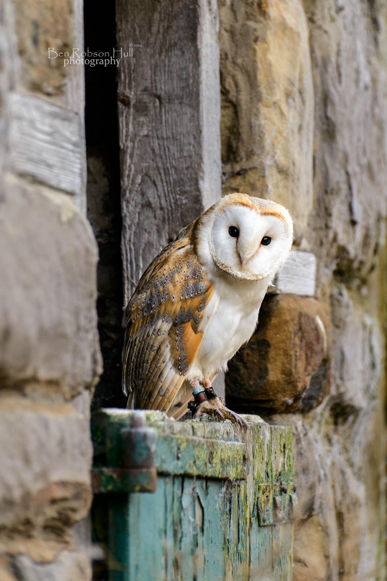 Farmyard barn owl by ben robson hull on 500px barn owl