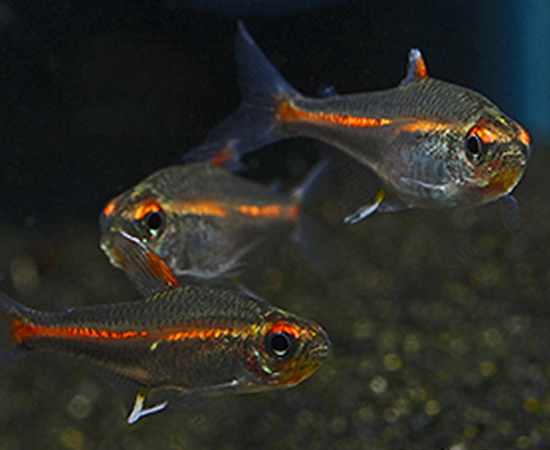 Glowlight Tetra Hemigrammus Erythrozonus Tetra Fish Neon Tetra Neon Tetra Fish