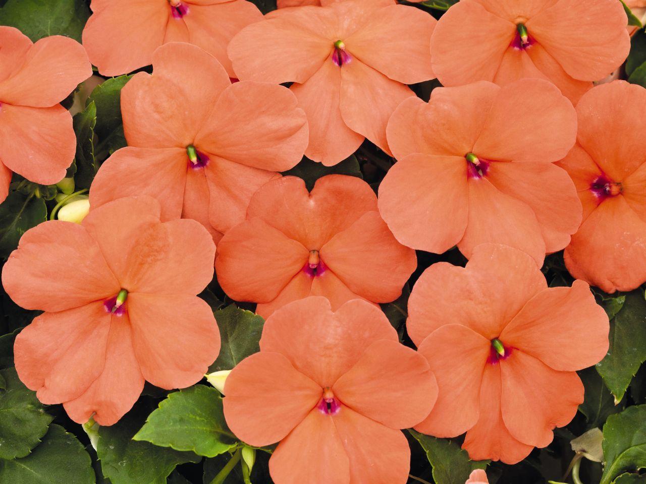 Picture of Live New Guinea Impatiens Peach aka Impatiens hawkeri 'Peach' Plant Fit 1QRT Pot