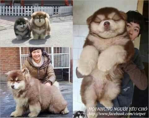 Chou Chou Husky Mix Dog Crossbreeds Mixed Breed Dogs Cute Dogs