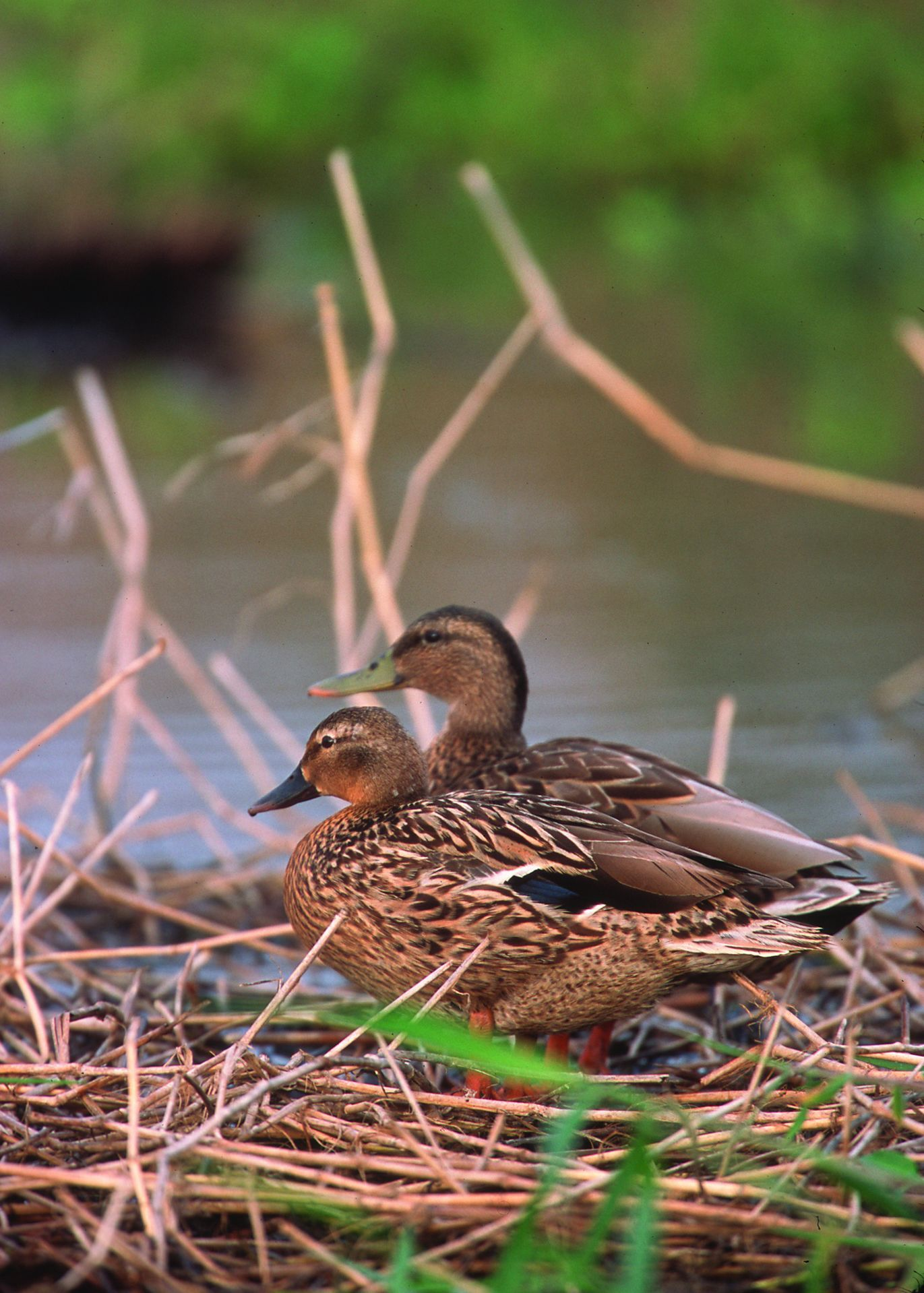 Hawaiian duck (With images) List of birds, World birds