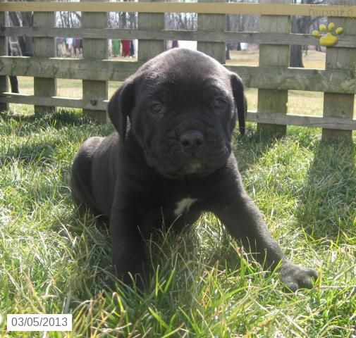 Iris Cane Corso Italian Mastiff Puppy For Sale In Lititz Pa Cane Corso Italian Mastiff Cane Corso Italian Mastiff Mastiff Puppies For Sale Cane Corso