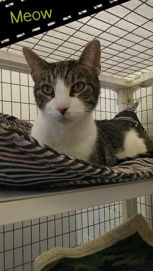 Adopt Meow Front Declawed On Petfinder Animal Shelter Animals Tabby Cat