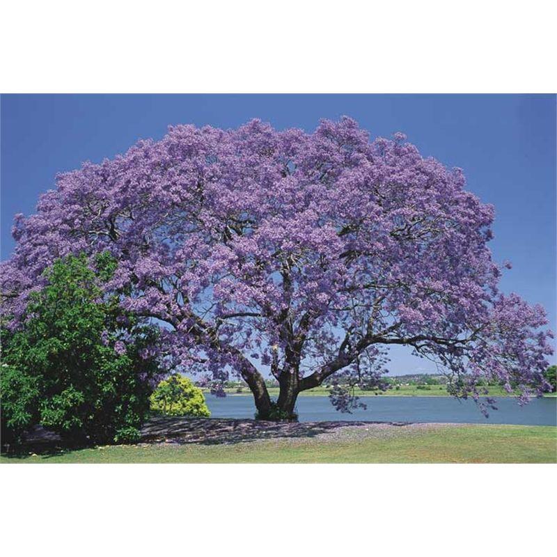 200mm Jacaranda Mimosifolia I N 3727461 Bunnings Warehouse Jacaranda Tree Trees To Plant Flowering Trees