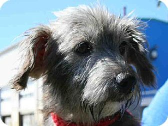 Norfolk Va Dachshund Norfolk Terrier Mix Meet Lovey A Dog For