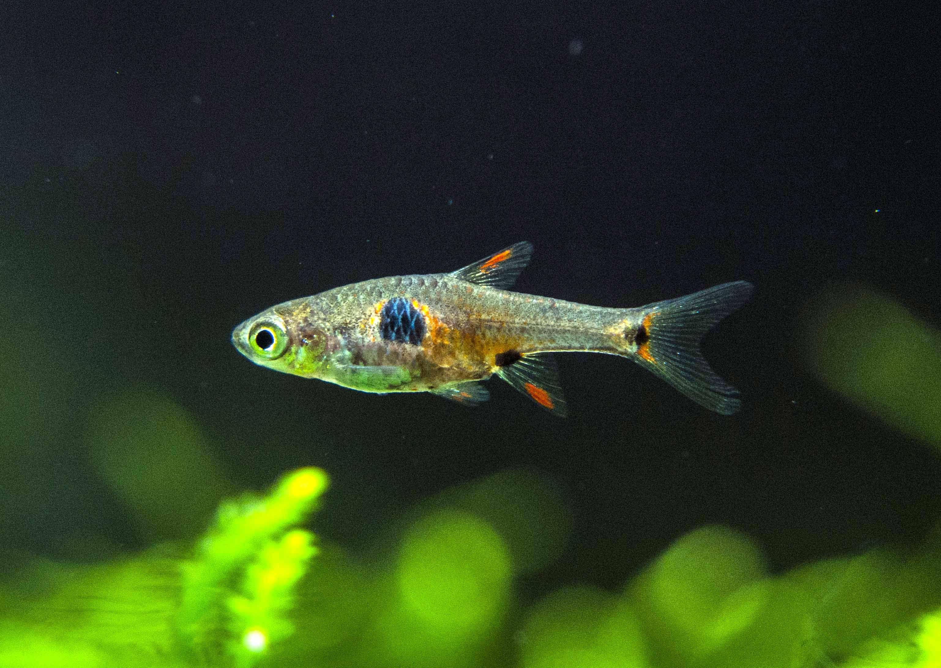 Freshwater aquarium fish under 2 inches - Fish
