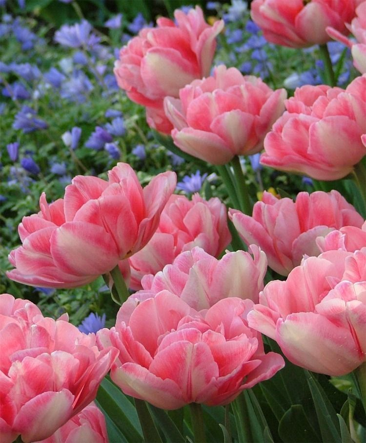 Tulip Foxtrot Double Early Tulips Tulips Flower Bulb Index Bulb Flowers Tulips Flowers Beautiful Flowers