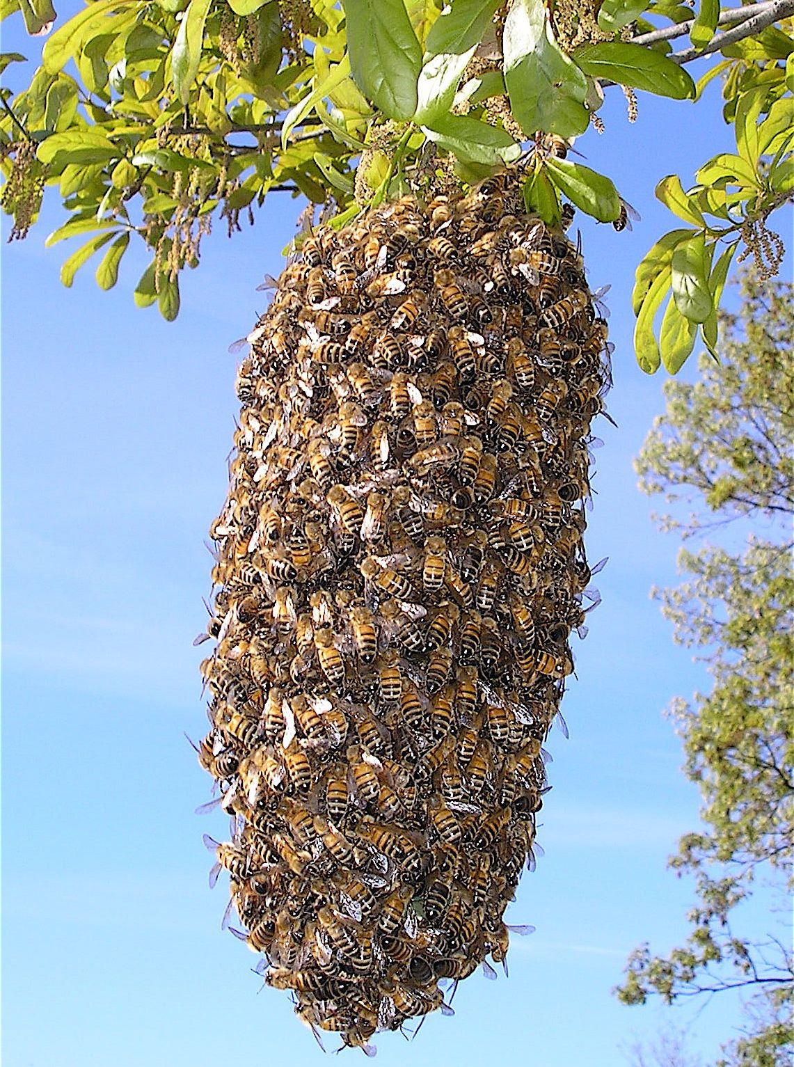 Why and How Bees Swarm | The Science of Bees | Honey bee