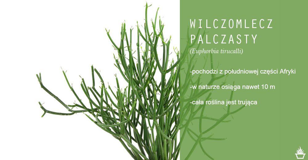 Wilczomlecz Palczasty Euphorbia Tirucalli Zielen We Wnetrzach Krakow Euphorbia Herbs Krakow
