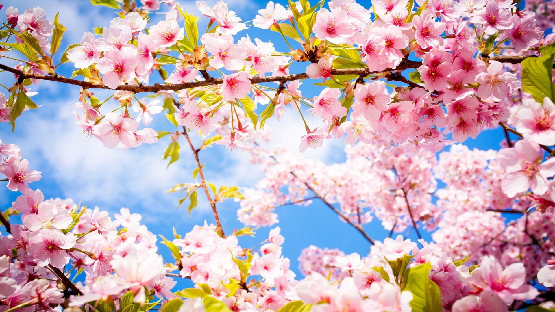 Spring Wallpaper Cherry Blossom HD Wallpapers Spring
