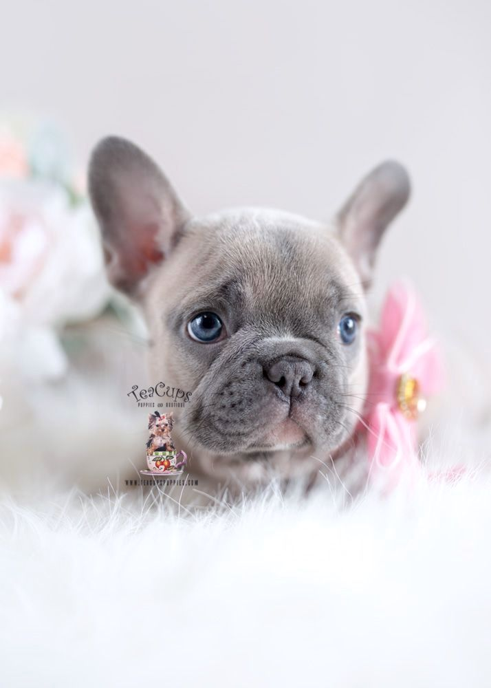 Pin by doglove on Frenchie Bulldog puppies, French