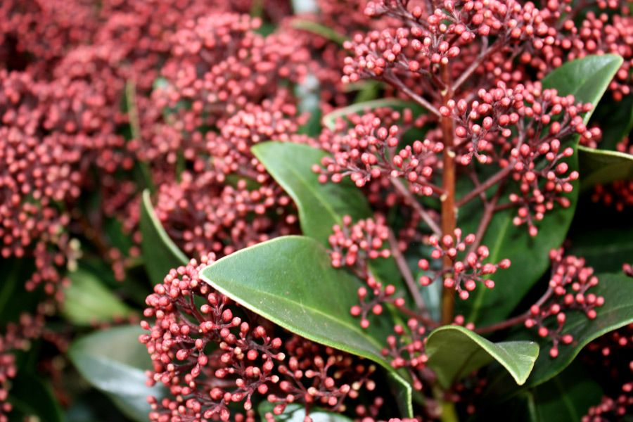 Skimmia, a flower that is as durable as evergreen.