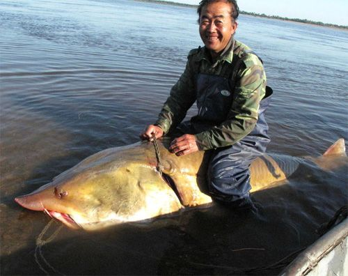 Biggest Fishes Caught By People Caught A Large Sturgeon Fish When Fishing In Heilongjiang River Photo With Images Fish Sturgeon Fish Monster Fishing