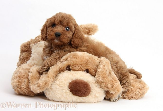 6 Week Old Cavoodle Puppies Animals And Pets Cute Creatures