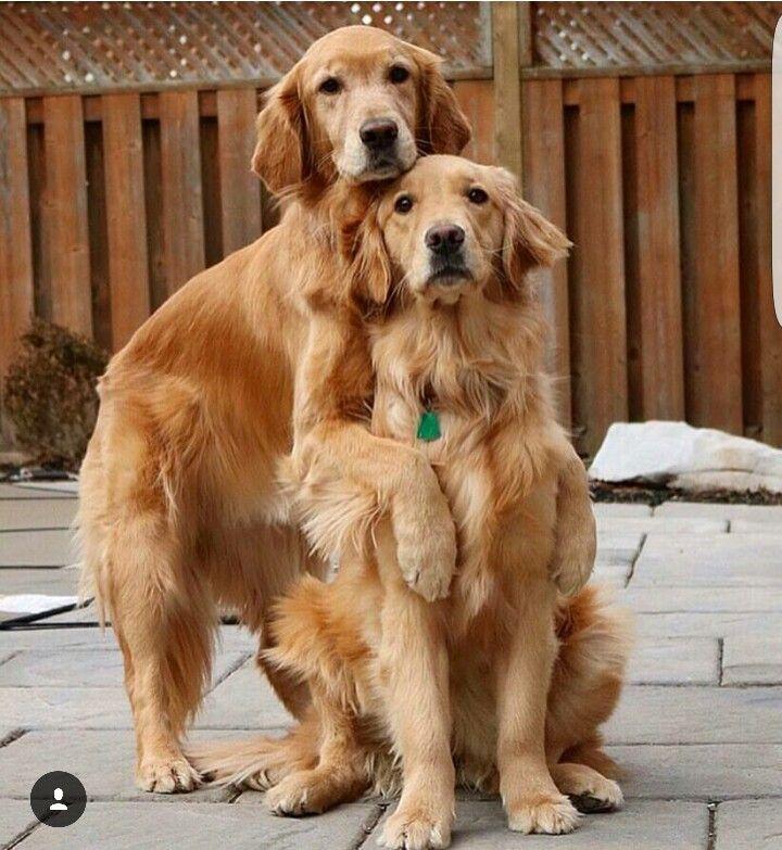 Pinterest Catherinesullivan2017 Golden Dog Cute Dogs Dogs