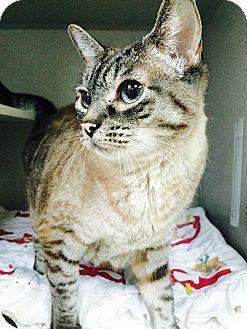 Seattle Wa Siamese Meet Sunnie A Cat For Adoption Cat Adoption Pets Pet Adoption