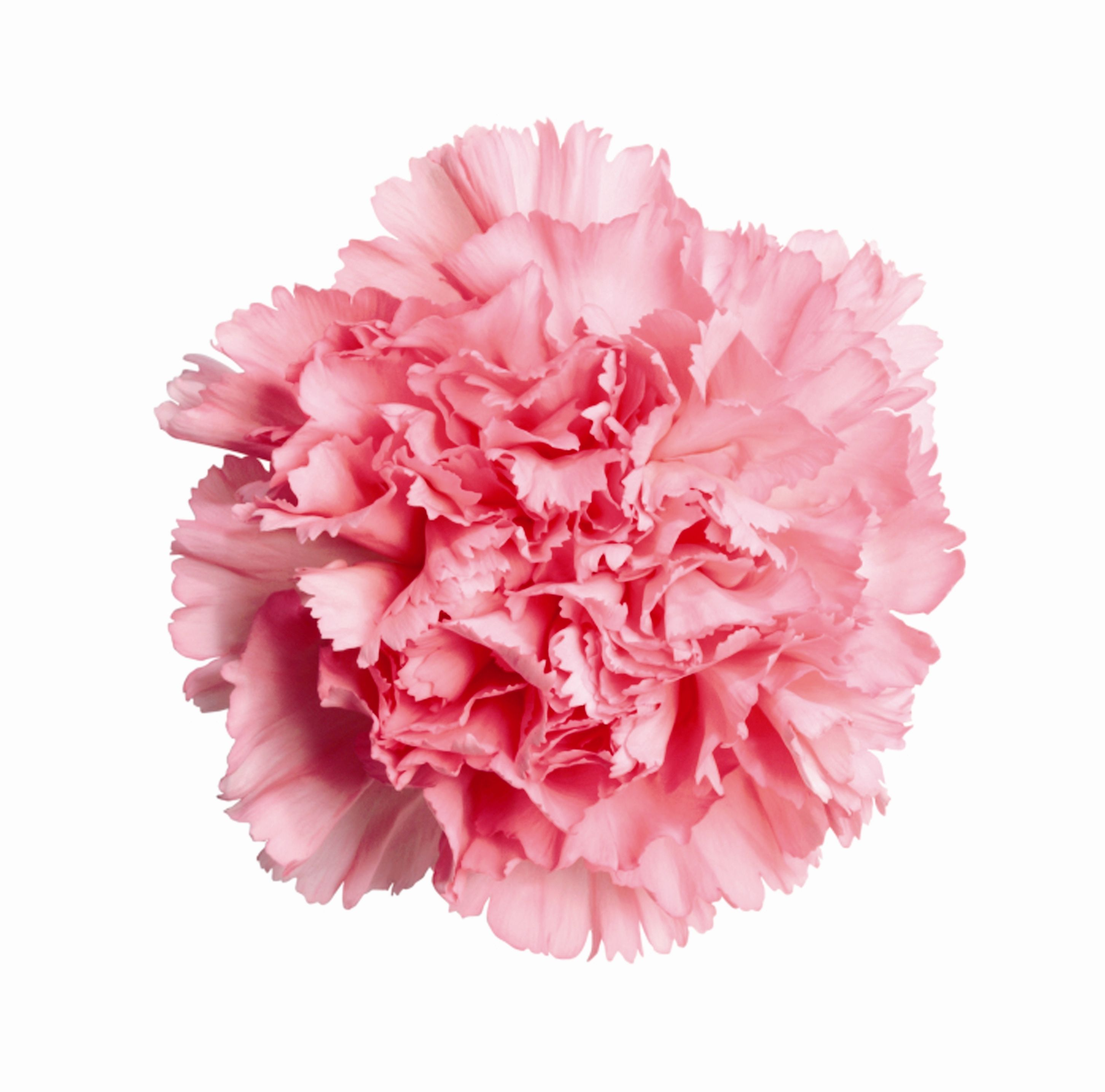 carnation Google Search Carnation flower, Birth month