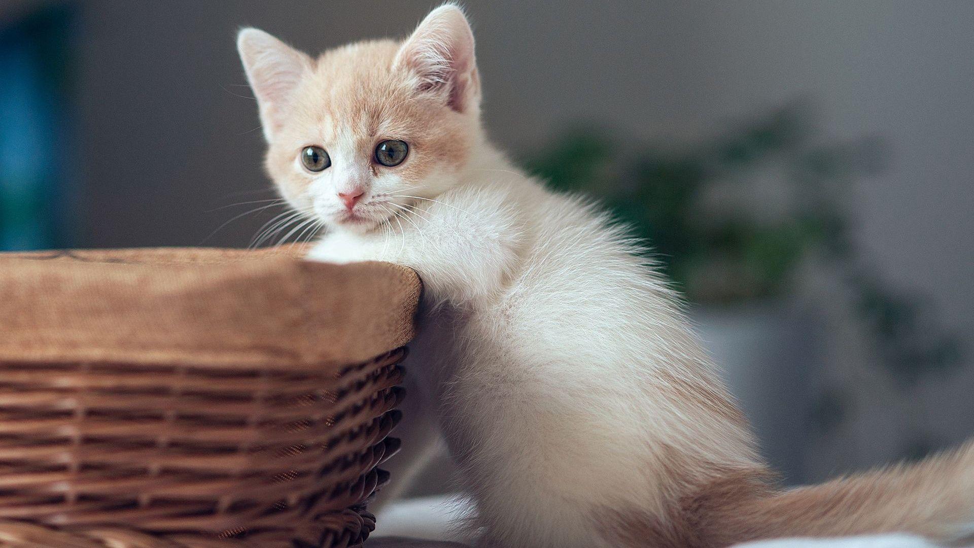 Chaton Mignon Avec Panier Fonds D Ecran 1920x1080 Fonds D Ecran De Telechargement Chaton Mignon Cute Kittens Chaton