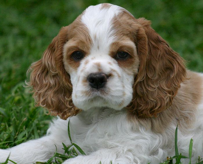 Zim Family Cocker Spaniel Puppies Spaniel Puppies Cute Dog Pictures