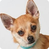 Adopt A Pet Noah Colorado Springs, CO Pomeranian