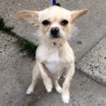 Frenchie A1083351 Chihuahua Poodle Mix Chihuahua Love Poodle Mix