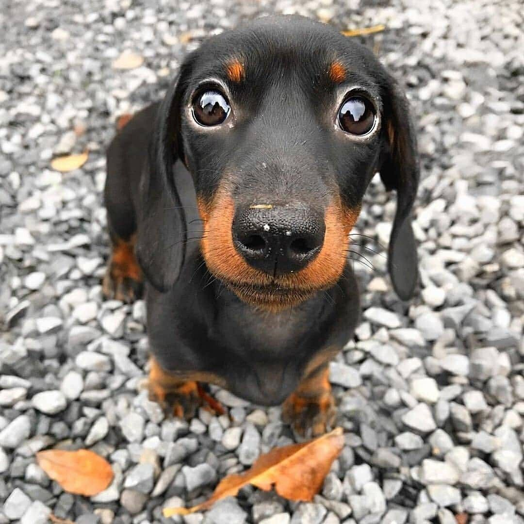 Look at Eye's. black dachshund mix, black dachshund