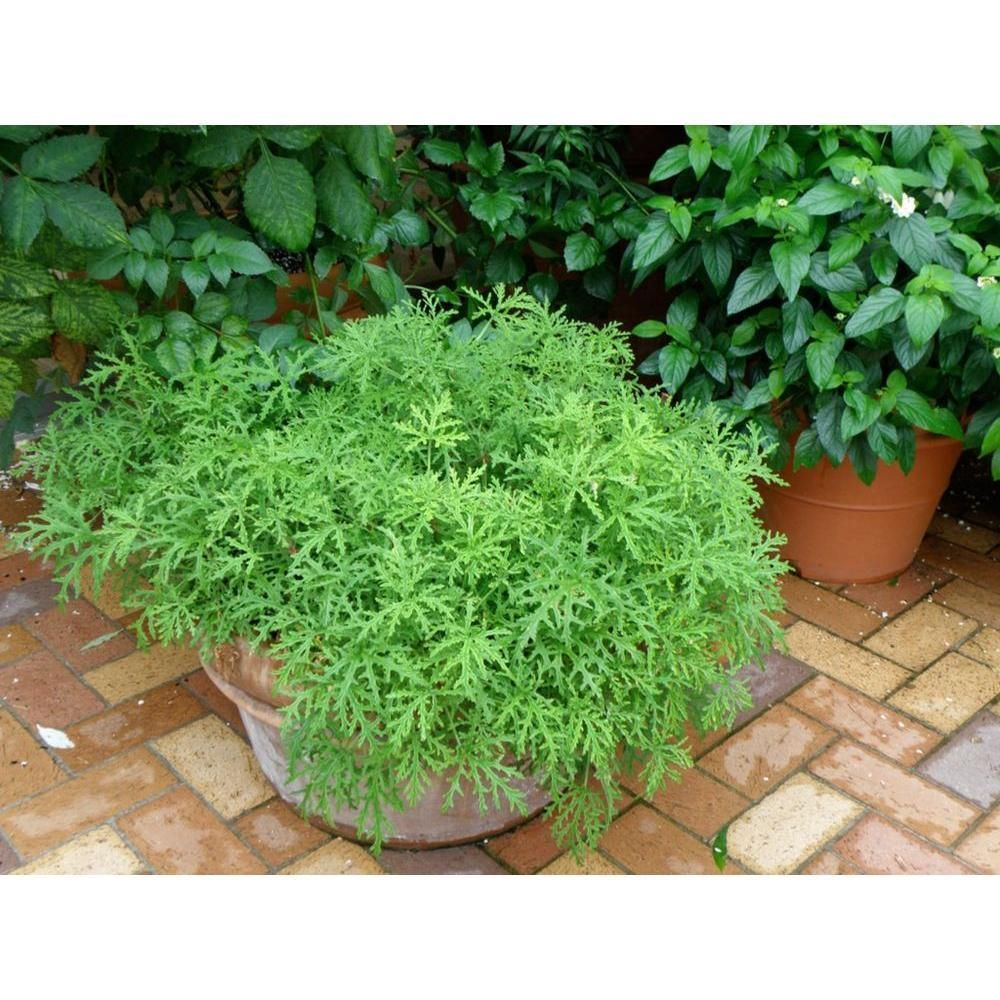 Citronella Is The Best Home Depot Garden Plants That Ll Keep Bugs